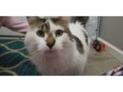 Adopt Jasper a Black & White or Tuxedo Domestic Longhair / Mixed cat in Zeeland
