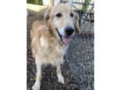 Adopt Eloise a Red/Golden/Orange/Chestnut Golden Retriever / Mixed dog in