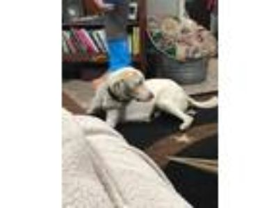 Adopt Susinka a White Labrador Retriever dog in Conroe, TX (25877452)