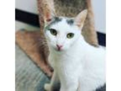 Adopt Mojave a White (Mostly) Domestic Shorthair / Mixed cat in Mount Laurel