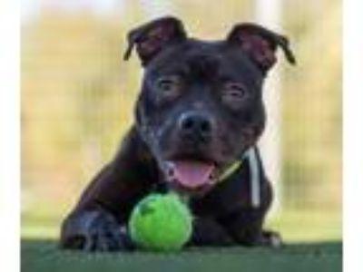 Adopt Wasabi a Black Pit Bull Terrier / Labrador Retriever / Mixed dog in San