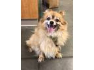 Adopt Corky a Pomeranian / Mixed dog in Pittsburgh, PA (25829402)