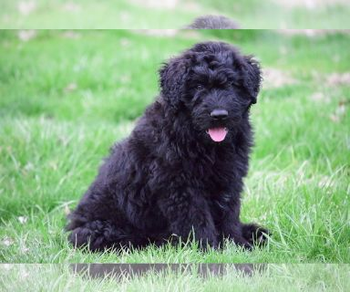 Bouvier Des Flandres PUPPY FOR SALE ADN-126022 - Male Bouvier Des Flandres Puppies Available