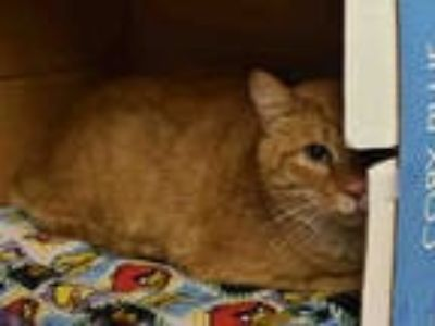 Adopt SWEET TANG a Orange or Red Tabby Domestic Shorthair / Mixed (short coat)