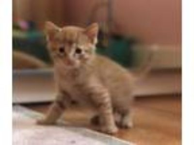 Adopt George KITTEN SHOWER ATTENDEE a Domestic Short Hair