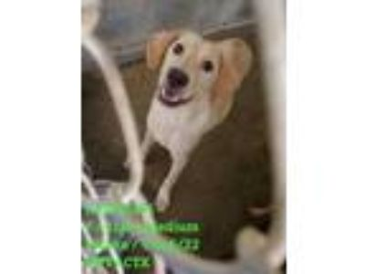 Adopt 41751191 a Tan/Yellow/Fawn Retriever (Unknown Type) / Mixed dog in
