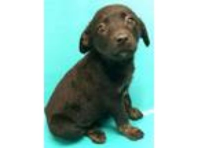 Adopt Gentry a Labrador Retriever, Australian Cattle Dog / Blue Heeler