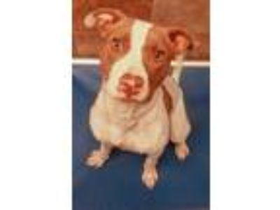 Adopt Sydney a White Terrier (Unknown Type, Small) / Pointer / Mixed dog in Fort