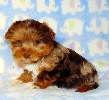Chocolate Merle Yorkie