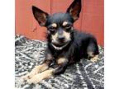 Adopt Louie a Black - with Tan, Yellow or Fawn Miniature Pinscher / Terrier