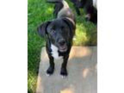 Adopt April a Labrador Retriever