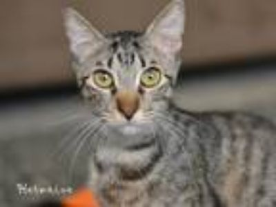 Adopt Hester a Brown Tabby Domestic Shorthair / Mixed (short coat) cat in