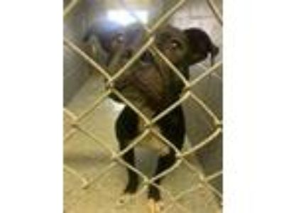 Adopt Delilah a Black American Pit Bull Terrier / Mixed dog in Lancaster