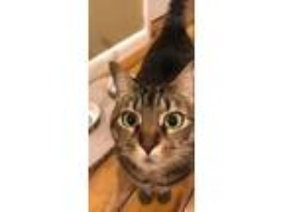 Adopt Boots a Tan or Fawn Tabby Domestic Mediumhair / Mixed cat in Mount Juliet