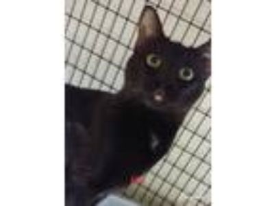 Adopt Mia a Black (Mostly) Domestic Shorthair (short coat) cat in Muscatine