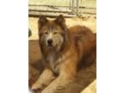 Adopt King a Red/Golden/Orange/Chestnut - with White Alaskan Malamute / Mixed