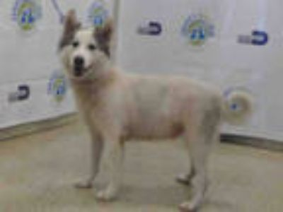 Adopt FOXIE a White - with Black Husky / Mixed dog in Doral, FL (25334613)