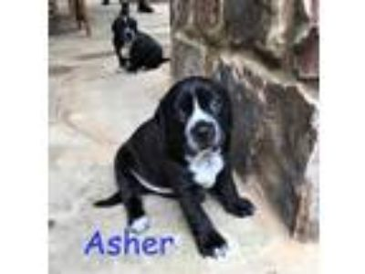 Adopt Asher a Black Retriever (Unknown Type) / Mixed dog in Cumming