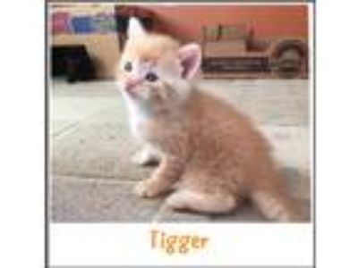 Adopt Tigger a Orange or Red Tabby Domestic Shorthair (short coat) cat in Toms