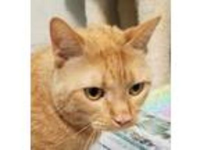 Adopt Reign a Orange or Red Domestic Shorthair / Domestic Shorthair / Mixed cat