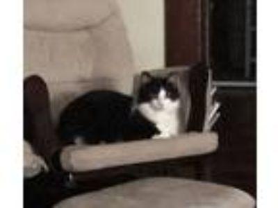 Adopt Felix a Black & White or Tuxedo Domestic Mediumhair / Mixed cat in