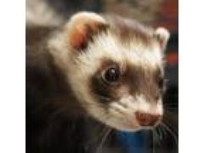 Adopt Macy a Sable Ferret / Ferret / Mixed small animal in West Kennebunk