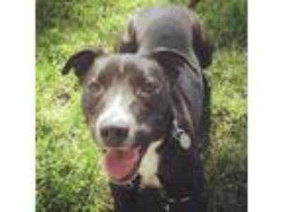 Adopt Ash a American Staffordshire Terrier, Labrador Retriever