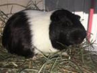 Adopt Slick a Guinea Pig small animal in Monterey, CA (25910547)