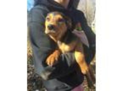 Adopt Duke a Black - with Brown, Red, Golden, Orange or Chestnut Mountain Cur /