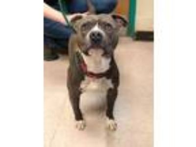 Adopt Philly a Gray/Blue/Silver/Salt & Pepper American Pit Bull Terrier / Mixed
