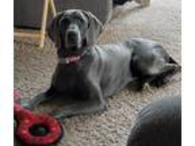Adopt Lexie and Indy (bonded pair) a Weimaraner / Mixed dog in Grand Haven