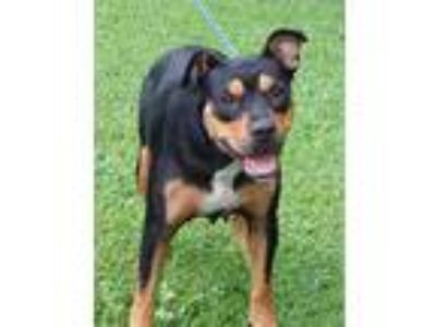 "Adopt Stella ""New Video & PERFECT"" a Tricolor (Tan/Brown & Black & White)"