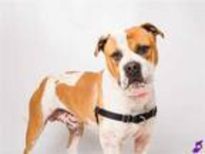 Adopt MAX a Tan/Yellow/Fawn - with White American Pit Bull Terrier / Boxer /