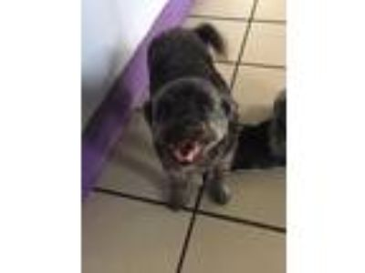 Adopt Bows a Shih Tzu / Poodle (Standard) / Mixed dog in Fort Myers