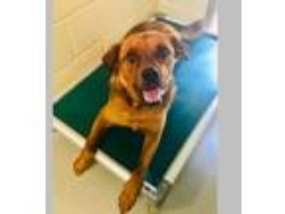 Adopt Clifford a Golden Retriever, German Shepherd Dog