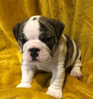 English Bulldog PUPPY FOR SALE ADN-100124 - AKC English Bulldog Puppies
