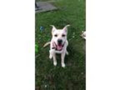 Adopt Scooby a Tan/Yellow/Fawn - with White Husky / Labrador Retriever / Mixed