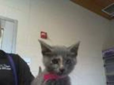 Adopt PEACHY PANTS a Gray or Blue (Mostly) Domestic Shorthair / Mixed (short
