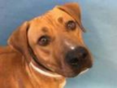 Adopt Odette a Red/Golden/Orange/Chestnut Hound (Unknown Type) / Mixed dog in
