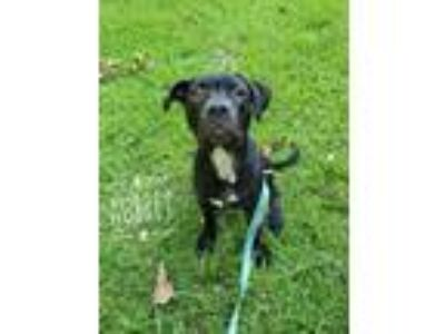 Adopt Aubrey a Black - with White Boxer / Mixed dog in Mobile, AL (25841838)