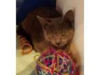 Adopt Florence a Domestic Short Hair