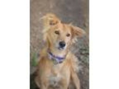 Adopt MicMac a Golden Retriever, Labrador Retriever