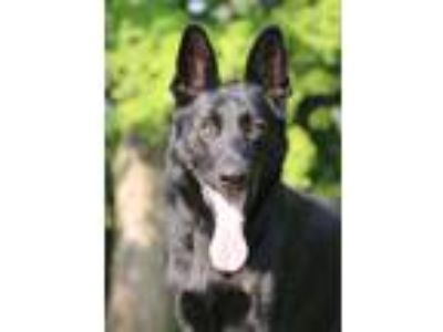 Adopt Jeter a Black German Shepherd Dog / Mixed dog in Nashville, TN (23786616)
