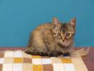 Adopt Scarecrow a Domestic Medium Hair