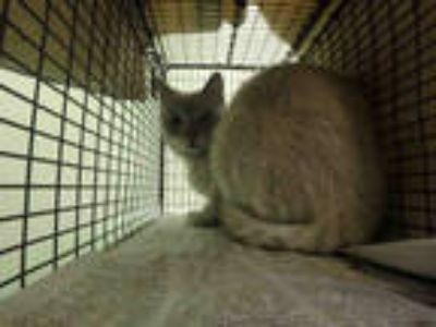 Adopt SAM a Brown or Chocolate (Mostly) Siamese / Mixed (short coat) cat in Los