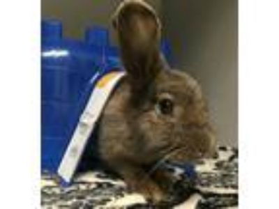 Adopt Greyback a American / Mixed rabbit in Pittsburgh, PA (25645626)