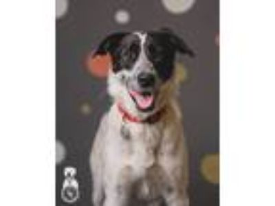 Adopt Missy Elliott a White - with Black Pointer / Border Collie / Mixed dog in