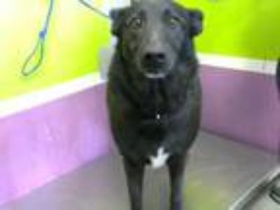 Adopt LILY a German Shepherd Dog, Mixed Breed
