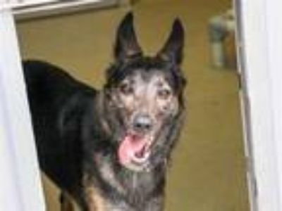 Adopt *PIKACHU a Black German Shepherd Dog / Mixed dog in Austin, TX (25321762)