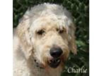 Adopt Charlie a Poodle, Golden Retriever